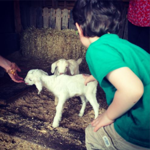 Petting the baby goats